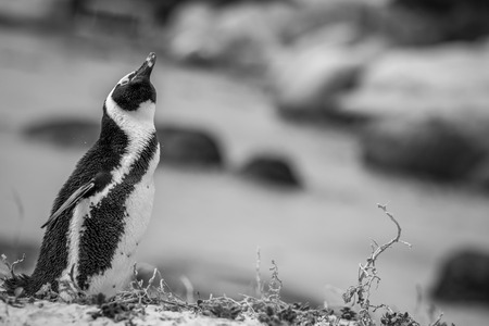African penguin standing in the sand in black and white, South Africa.