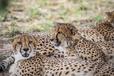 Coalition of Cheetahs laying in the grass in the Kruger National Park, South Africa. Stock Photo