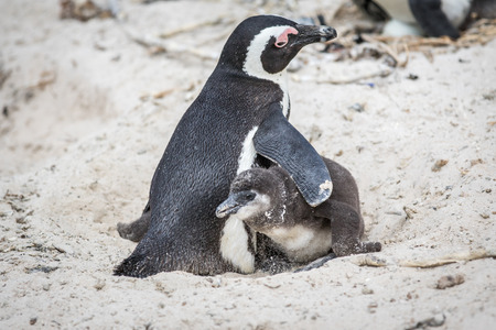 Two African penguins cuddling in the sand, South Africa.