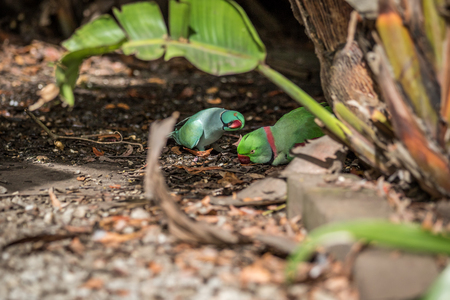 Rose-ringed parakeet and ring-necked parakeet on the floor in the forest.