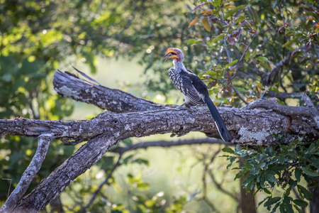 Yellow-billed hornbill on a branch in the Kruger National Park, South Africa.