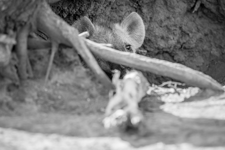 Young spotted hyena hiding in its den in black and white in the Kruger National Park, South Africa. Stock Photo