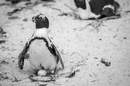 African penguin sitting on an egg in the sand in black and white, South Africa.