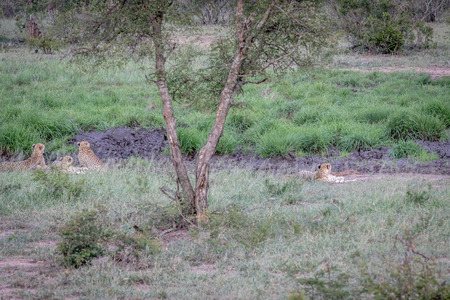 Four Cheetahs hiding in a drainage line in the Kruger National Park, South Africa.