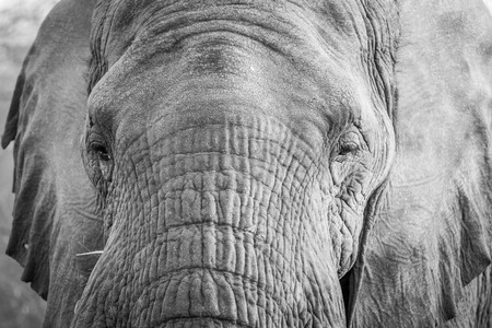 Close up of an Elephant head in black and white in the Kruger National Park, South Africa.