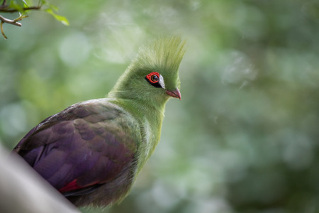 Knysnas turaco on a branch in the forest in South Africa. Stock Photo