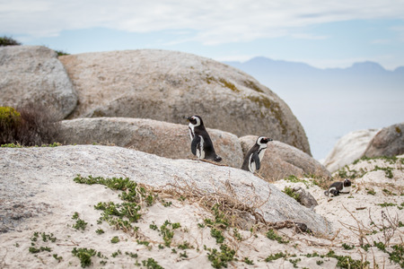 Two African penguins standing on a rock, South Africa. Stock Photo
