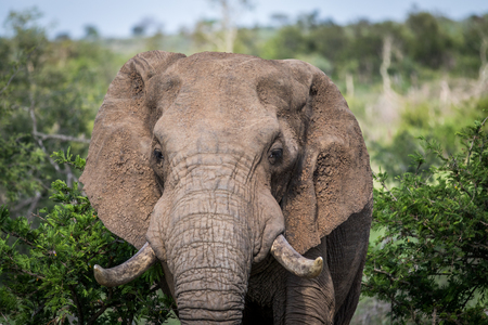 Close up of an African elephant in the Kruger National Park, South Africa.