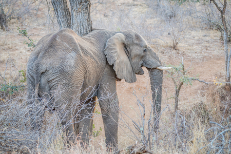 Elephant standing in the bush in the Kruger National Park, South Africa 免版税图像