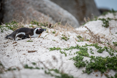 African penguin laying in the sand, South Africa.