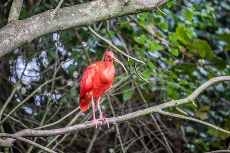 Scarlet ibis sitting on a branch in the forest. Stock Photo
