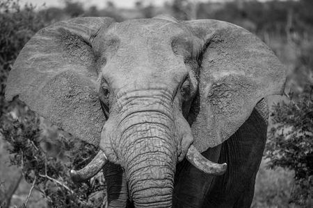 Close up of an African elephant in black and white in the Kruger National Park, South Africa.