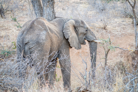 Elephant standing in the bush in the Kruger National Park, South Africa Stock fotó