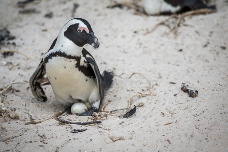 African penguin sitting on an egg in the sand, South Africa.
