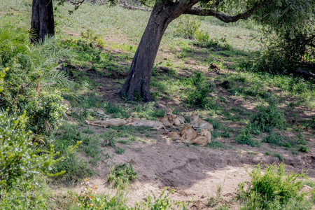 Pride of Lions sleeping under a tree in the Kruger National Park, South Africa. Stock Photo