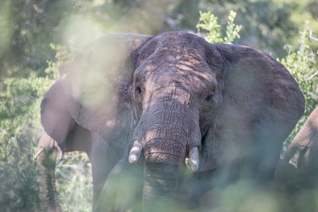 Elephant close up behind branches in the Kruger National Park, South Africa. Stock Photo