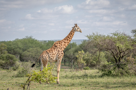 Giraffe standing in the grass in the Kruger National Park, South Africa.