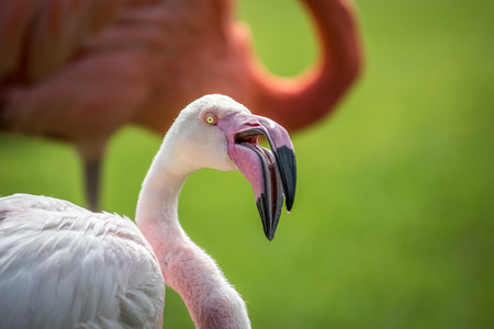Close up of a Greater flamingo in the grass. Stock Photo