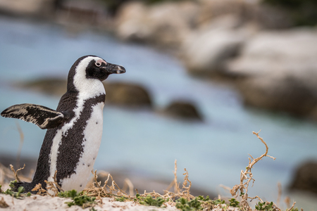 African penguin standing in the sand, South Africa.