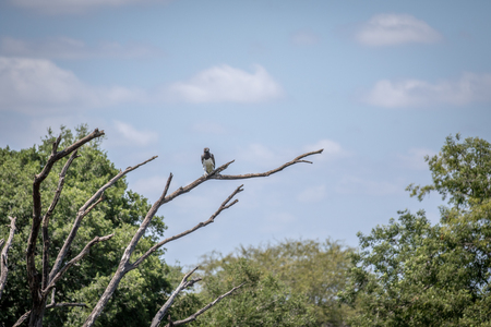 Martial eagle on a branch in the Kruger National Park, South Africa. Stock Photo