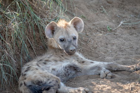 Young Spotted hyena laying in the sand in the Kruger National Park, South Africa.