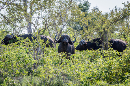 African buffaloes in the bushes in the Kruger National Park, South Africa.