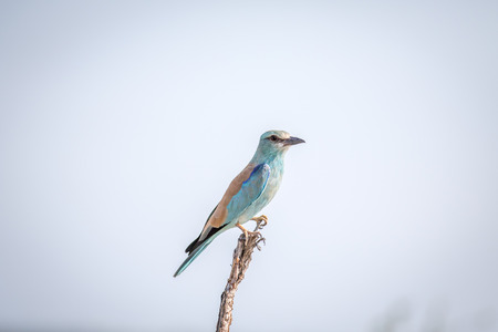 European roller on a branch in the Kruger National Park, South Africa. Stock Photo