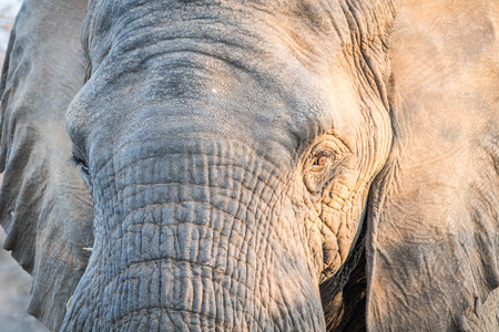 Close up of an Elephant head in the Kruger National Park, South Africa.