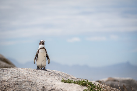 African penguin standing on a rock in black and white, South Africa.