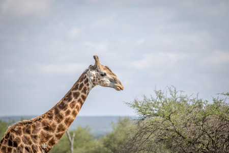 Close up of a Giraffe in the Kruger National Park, South Africa.