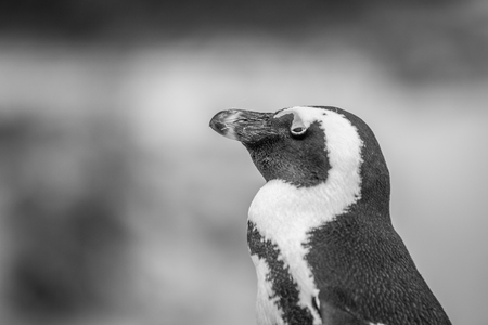 Close up of an African penguin in black and white, South Africa. Stock Photo