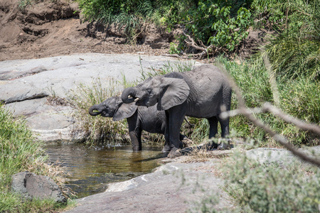 Two Elephants drinking in the Kruger National Park, South Africa.