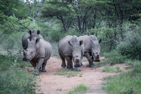 Group of White rhinos standing in the middle of the road in South Africa. Stock Photo