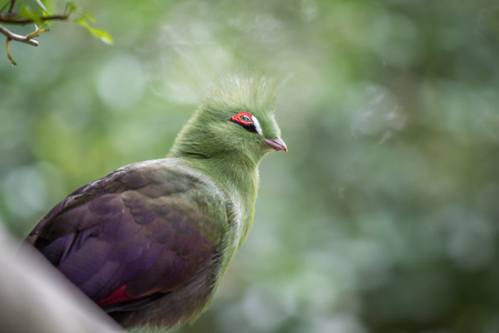 Knysna's turaco on a branch in the forest in South Africa.