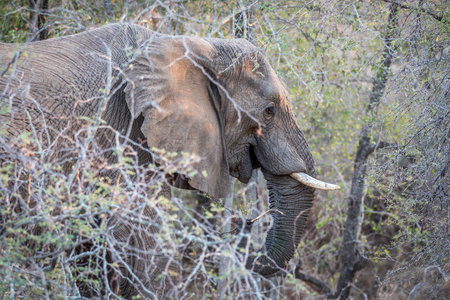 Close up of an Elephant head in the bush in the Kruger National Park, South Africa. 免版税图像