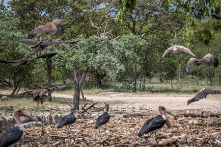 Marabou storks and Vultures in the Kruger National Park, South Africa.