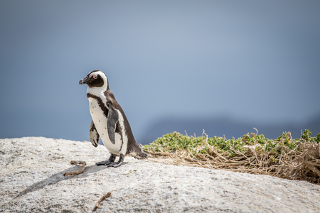 African penguin standing on a rock, South Africa.