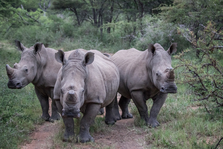 Group of White rhinos standing in the middle of the road in South Africa. Фото со стока