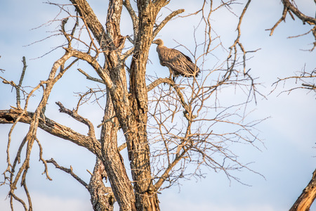 White-backed vulture in a tree in the Kruger National Park, South Africa.