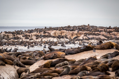 Cape fur seals sitting on a rock in the Ocean, South Africa.