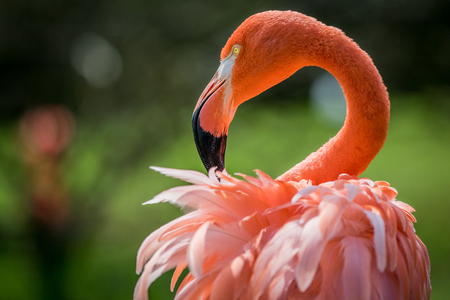 American flamingo close up in the forest.
