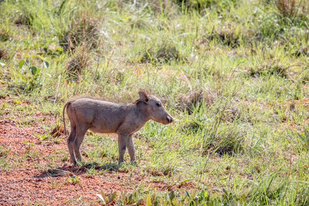Warthog piglet standing in the grass in the Welgevonden game reserve, South Africa. Stock fotó