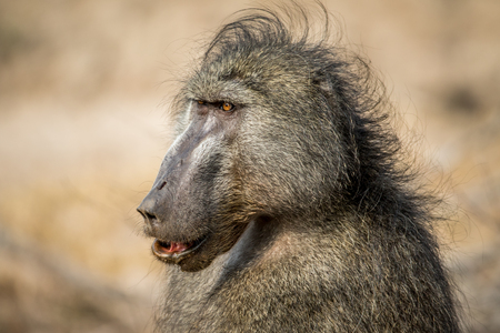 Male Chacma baboon close up in the Kruger National Park, South Africa.