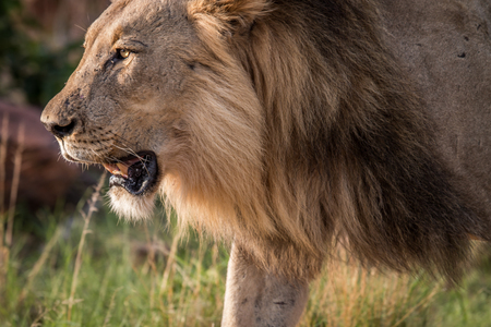 Side profile of a big male Lion in the Welgevonden game reserve, South Africa.