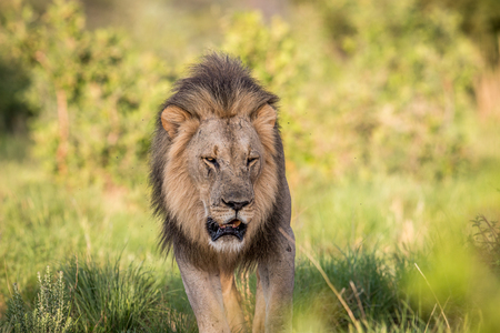 Big male Lion walking towards the camera in the Welgevonden game reserve, South Africa. 免版税图像