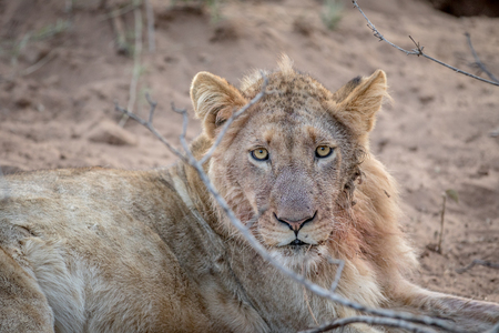 Close up of a young male Lion in the Kruger National Park, South Africa.