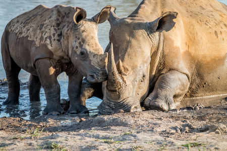 Mother White rhino with a baby calf in the mud, South Africa. Reklamní fotografie