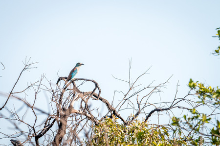 European roller in a tree in the Welgevonden game reserve, South Africa.