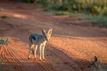 Young Black-backed jackal standing in the road in the Welgevonden game reserve, South Africa.