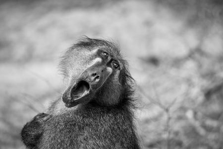 Chacma baboon yawning in the Kruger National Park, South Africa. 版權商用圖片